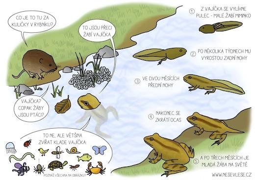 Víš, jak se vyvíjí žába?